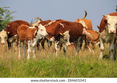 A group of Hereford cows being rounded up for branding - stock photo