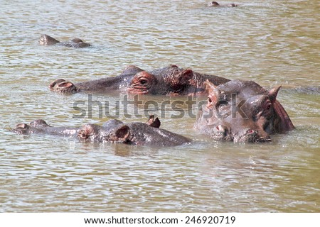 A group of hippos (Hippopotamus amphibius) swimming in a lake in Serengeti National Park, Tanzania - stock photo