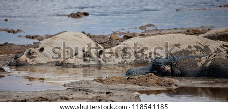 A group of Hippos lounge in a watering hole. Serengeti National Park, Tanzania - stock photo