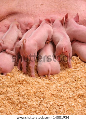 A group of hungry piglets fighting to get their fair share of milk - stock photo