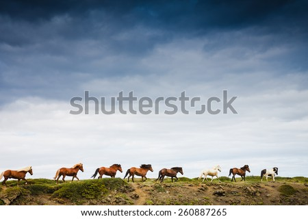 A group of Icelandic Ponies in move with blue sky in the background - stock photo