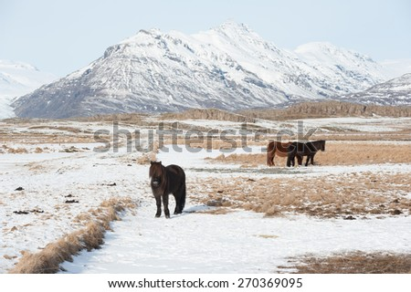 A group of Icelandic Ponies in the pasture with mountains in the