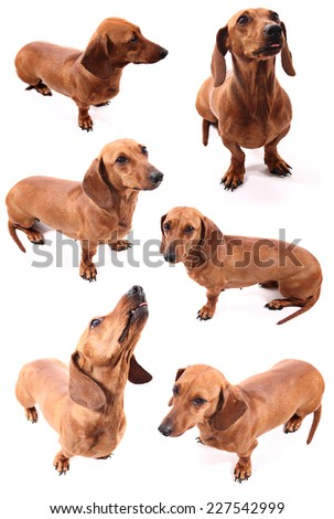 A group of isolated dog poses (dachshund) on a white background. - stock photo