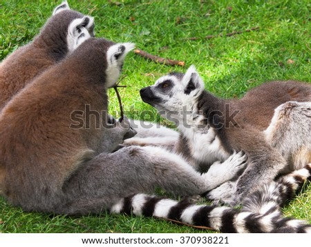 A group of lemurs in a moment of relaxation - stock photo