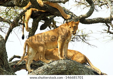 A group of lionesses (Panthera Leo) resting on a tree in Serengeti National Park, Tanzania - stock photo