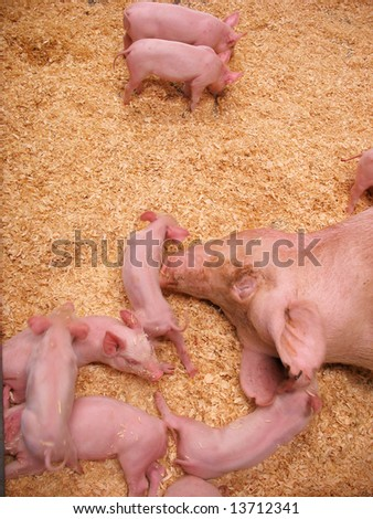 A group of little piglets scurrying around near their mother. - stock photo