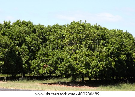 a group of macadamia nut trees in queensland, australia - stock photo