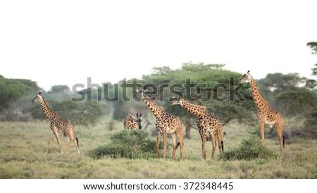 A group of Masai Giraffe in Ndutu, Serengeti, Tanzania - stock photo
