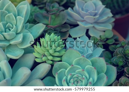 A group of Miniature succulent plants - vintage effect style.