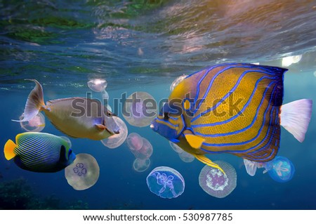 A group of moon jellyfish (aka. Aurelia aurita)