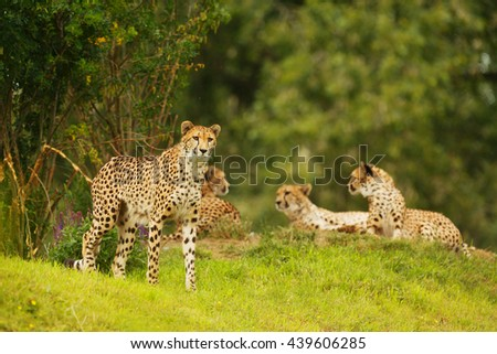 a group of of cheetahs waiting for prey in the shade of trees in the middle of the bush. Wild animals resting in the wild.