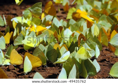 A group of Orange Sulphur butterflies