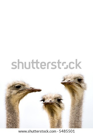 A group of ostriches discussing the day's events with copy space above - stock photo