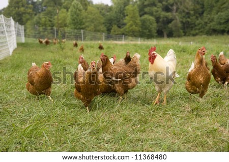 A group of pasture raised chickens on a farm in Illinois - stock photo