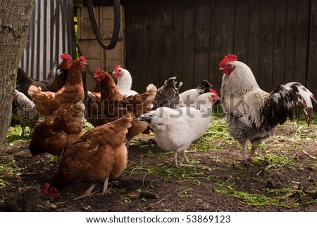 A group of pasture raised chickens peck for feed on the ground - stock photo