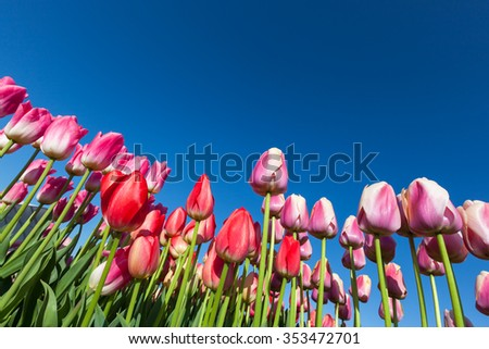 A group of pink and red springtime tulip flowers against a clear blue sky background. - stock photo