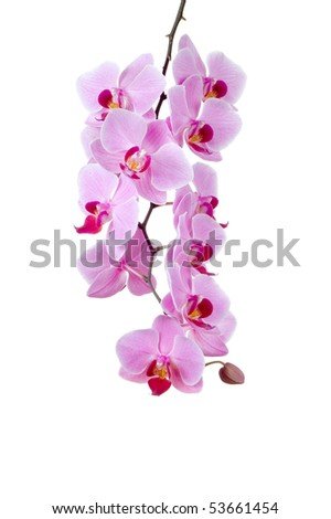 A group of pink orchids on a white background - stock photo