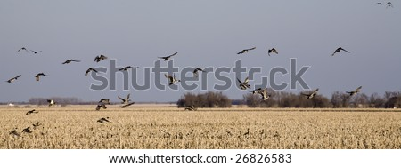 A group of Pintail ducks leave the corn field on an early spring evening in South Dakota - stock photo