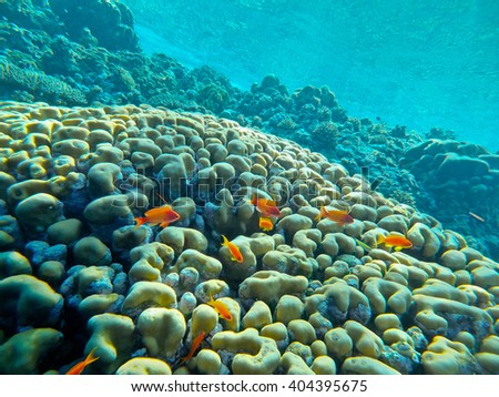 A group of Pseudanthias squamipinnis, a very common coral fish from the Red Sea, Egypt. - stock photo