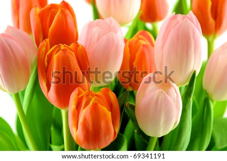 A group of red and pink tulips on a white background - stock photo