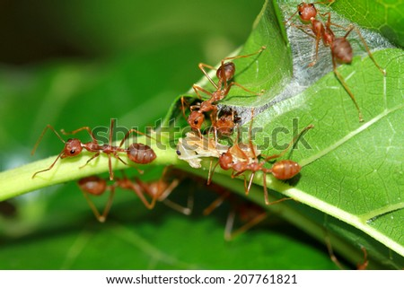 A group of red ant & prey on the nest - stock photo