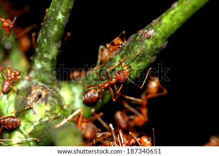 A group of red ants on branch - stock photo