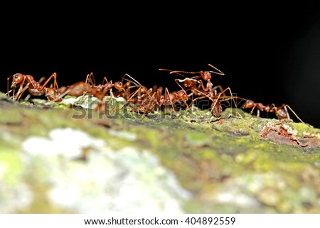 A group of red ants on the tree - stock photo