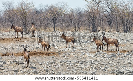 A group of Red Hartebeest (Alcelaphus buselaphus caama) near a waterhole in Etosha National Park, Namibia