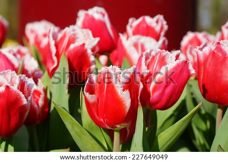 A group of red tulips in the spring - stock photo