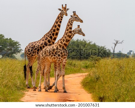 A group of Rothschild's giraffes cross a road in Murchison national park (Uganda). Unlike any other giraffe sub subspecies the Rothschild's giraffe does not display any markings on the lower legs. - stock photo