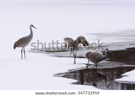 A Group of Sand-hill Cranes in the Snow