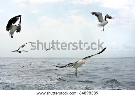 A group of scavenging seagulls flying over the ocean waters of the Long Island Sound. - stock photo