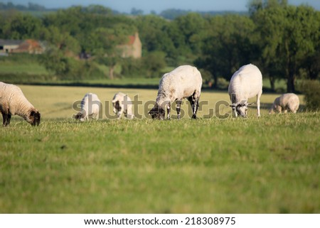 A group of sheep grazing in a field - stock photo