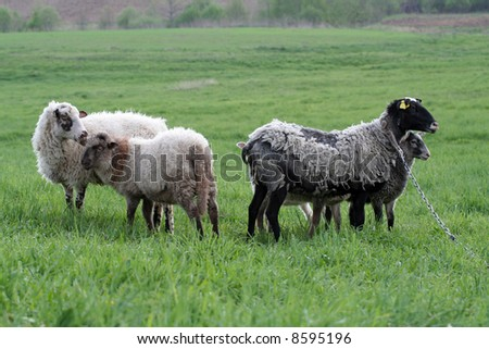 A group of sheep in a meadow - stock photo