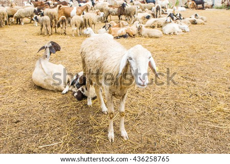 A group of sheep which is farming in the livestock