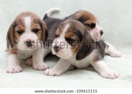 a group of small dogs puppies beagle - stock photo