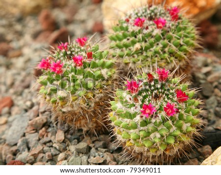 A group of small flowering cacti. - stock photo