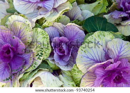 A group of spotted purple cabbage - stock photo
