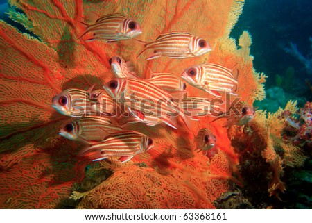 A group of squirrel fish and sea fan - stock photo