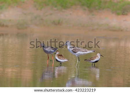 A group of summer plumage wading birds including Greenshank (Tringa nebularia), Redshank (Tringa totanus) and Dunlin (Calidris alpina) standing in water, against a blurred natural background, UK - stock photo