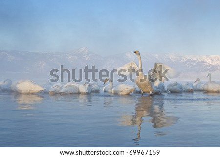 A group of swans are floating in the water.  Horizontal shot. - stock photo