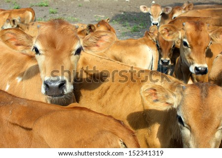 A group of tan colored baby Jersey Cows are standing outside on a farm, looking at the camera - stock photo
