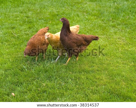 A group of three free range chickens on green grass
