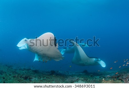 A group of three manta rays congregating on a reef - stock photo