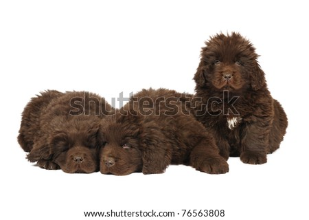 A group of three newfoundland dog puppies in studio on a white background - stock photo