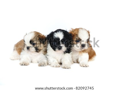 A group of three shih tzu puppies in studio on a white background - stock photo
