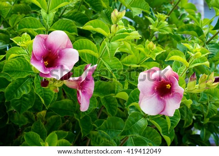 A group of tropical pink trumpet flowers in bloom on bush, surrounded by green leaves. - stock photo