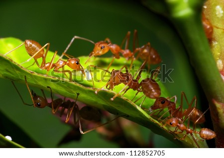 A group of weaver ants are going to move a scale insects to other locations. - stock photo