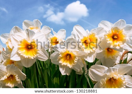 A group of white narcissus against the sky. Spring landscape. - stock photo
