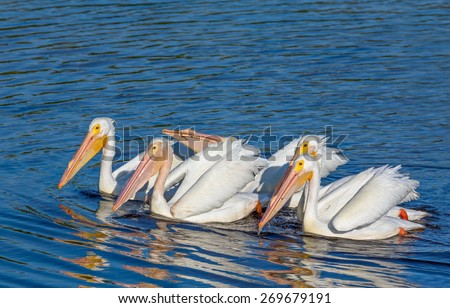A group of white pelicans swims and forages for food together in JN Ding Darling National Wildlife Refuge on Florida's Sanibel Island. - stock photo